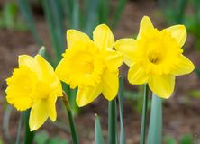 Daffodil flower blossoms royalty free stock photo
