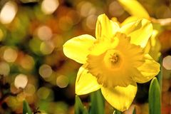 Daffodil flower with blurred background. In sun Royalty Free Stock Photo