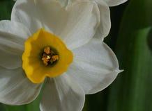 Daffodil. Flower closeup yellow pistil royalty free stock image