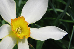 Daffodil flower detail Stock Photos