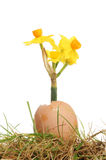 Daffodil flower in egg Royalty Free Stock Photo