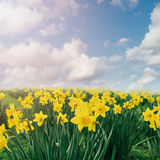 Daffodil flower field over blue sky Royalty Free Stock Images