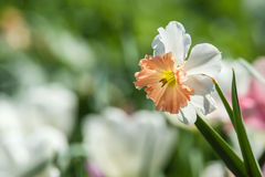 Daffodil flower in flowerbed Royalty Free Stock Photography