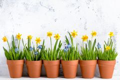 Daffodil flower and grass in pot royalty free stock photo