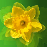 DAFFODIL. Flower on a green background, easter , art flower, abstract flower, photo flower, photo , picture of flowers Stock Photography