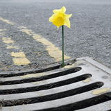 Daffodil. Flower growing from gully grate in roadside stock photos