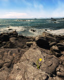 Daffodil Flower Growing From Rock Overlooking Pacific Ocean. Color Image, Day Royalty Free Stock Photo