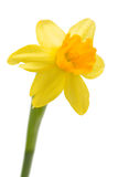 Daffodil flower Royalty Free Stock Photo