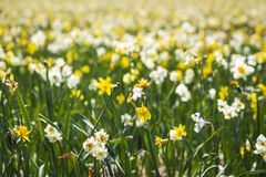 Daffodil flower or Lent lily, Narcissus pseudonarcissus, blooming in Dutch flower fields Drethe, the Netherlands. Daffodil flower or Lent lily, Narcissus stock images