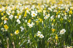 Daffodil flower or Lent lily, Narcissus pseudonarcissus, blooming in Dutch flower fields Drethe, the Netherlands. Daffodil flower or Lent lily, Narcissus royalty free stock images