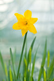 Daffodil Flower Royalty Free Stock Images