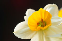 Daffodil. Flower macro with black background stock photo