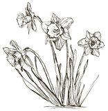 Daffodil flower or narcissus flower. Vector illustration of Daffodil flower or narcissus flower Royalty Free Stock Photo