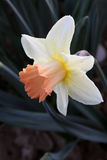 Daffodil flower. Daffodil, Narcissus, white and pink colored flower and dark green background pointed sharpened sheets. Daffodils are early spring flowering royalty free stock images