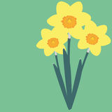 Daffodil. Flower of daffodil, nature picture Stock Photography