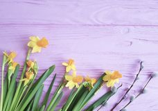 Daffodil flower natural willow furry on pink wooden background frame. Daffodil flower on pink wooden background frame vintage natural willow furry stock photos