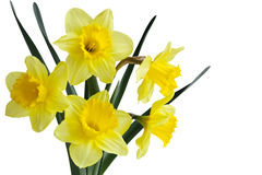 Daffodil Flower Plant Royalty Free Stock Images