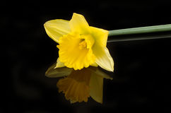 Daffodil flower with reflection on black Royalty Free Stock Photo