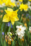 Daffodil Flower Stock Images