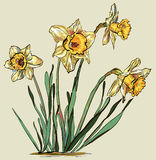 Daffodil flower. Vector illustration of Daffodil flower or Royalty Free Stock Photos