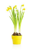 Daffodil flower in yellow pot Royalty Free Stock Photo