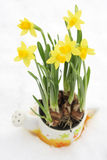 Daffodil flowerpot in snow Royalty Free Stock Image