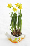 Daffodil flowerpot in snow Stock Images
