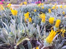 Daffodil flowers royalty free stock image