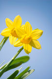 Daffodil Flowers. With blue sky Royalty Free Stock Images