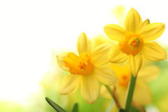 Daffodil flowers Royalty Free Stock Photography