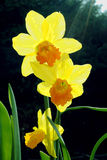 Daffodil flowers Stock Images