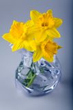 Daffodil flowers. Three daffodil flowers in the modern vase with water Royalty Free Stock Image