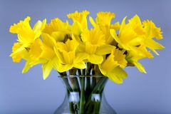 Daffodil flowers. Yellow daffodil flowers in the glass vase Royalty Free Stock Image