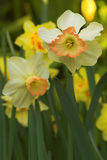 Daffodil flowers in bloom. Macro view of daffodils or narcissus flowers in bloom Stock Photo