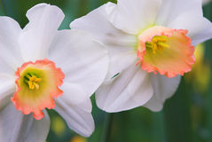 Daffodil flowers in bloom. Macro view of two daffodil flowers in bloom Stock Photography