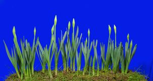 Daffodil Flowers from Bulb to Blooming. Life Cycle of Springtime`s first bloom, the Daffodil. Studio Isolated on a removable Blue Background stock video