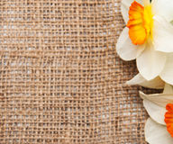 Daffodil flowers on a burlap background Stock Photo