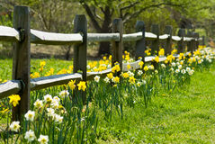 Daffodils growing next to fence Stock Image