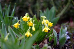 Daffodil flowers on an early spring day. This photo shows some flowers on an early spring day with a bit of frost on them. Best to use to depicture a late royalty free stock images