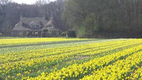 Daffodil flowers farm. Farm of tulips and daffodil flowers blooming and swinging under a sunny spring at Lisse, Keukenhof, Netherlands stock video footage