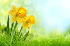 Daffodil flowers. In the field Royalty Free Stock Photos