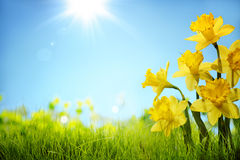 Daffodil flowers in the field. Copy space for your text stock image