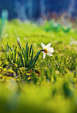Daffodil flowers in the field Stock Image