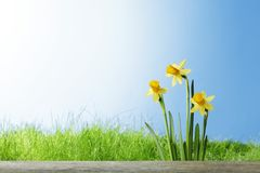 Daffodil flowers in the field Stock Photo