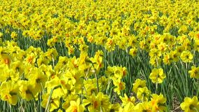 Daffodil flowers field stock footage