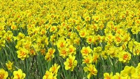 Daffodil flowers field. Yellow daffodil flowers blooming and swinging under a sunny spring at Lisse, Keukenhof, Netherlands stock footage