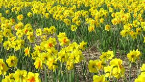 Daffodil flowers field stock video footage
