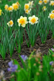 Daffodil flowers in the field Royalty Free Stock Images
