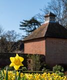 Daffodil flowers in front of the dovecote at Eastcote House, Hillingdon, London UK