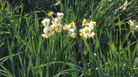 Daffodil flowers. At the garden stock video footage